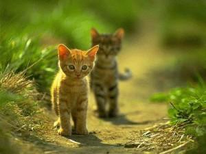 Africká horká kočička